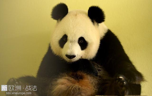 """法国动物园的熊猫""""欢欢""""首次怀孕!"""